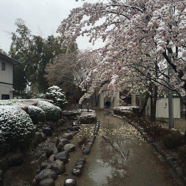 snow covered sakura