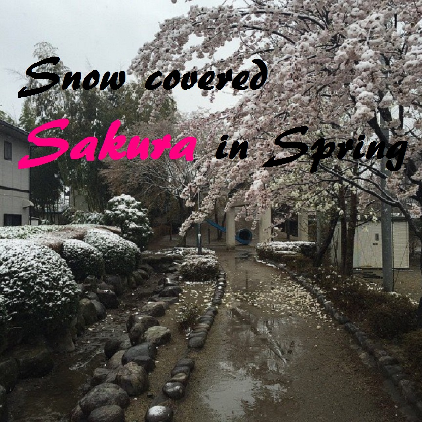 snow on sakura in spring