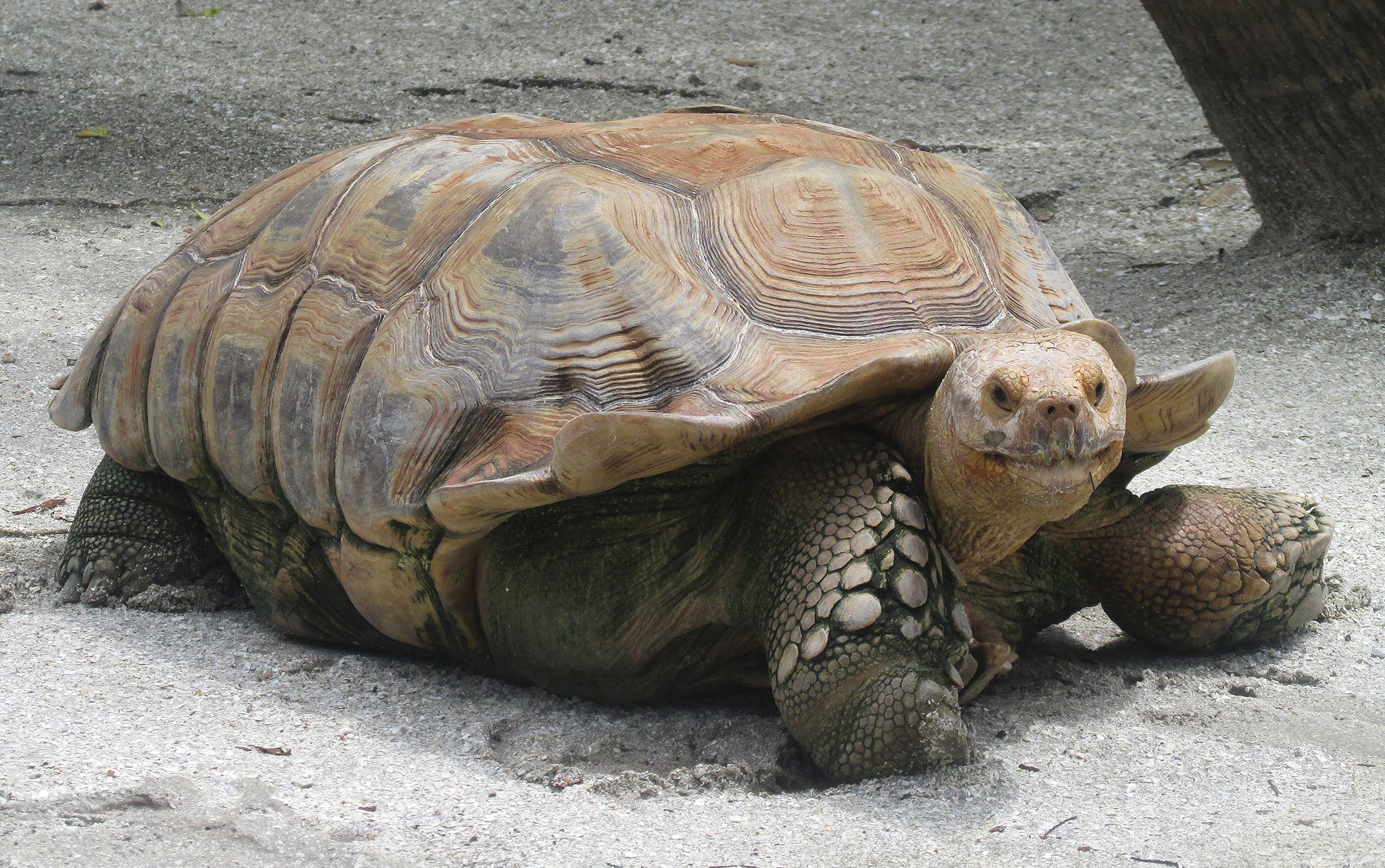 The famous Galapagos turtle