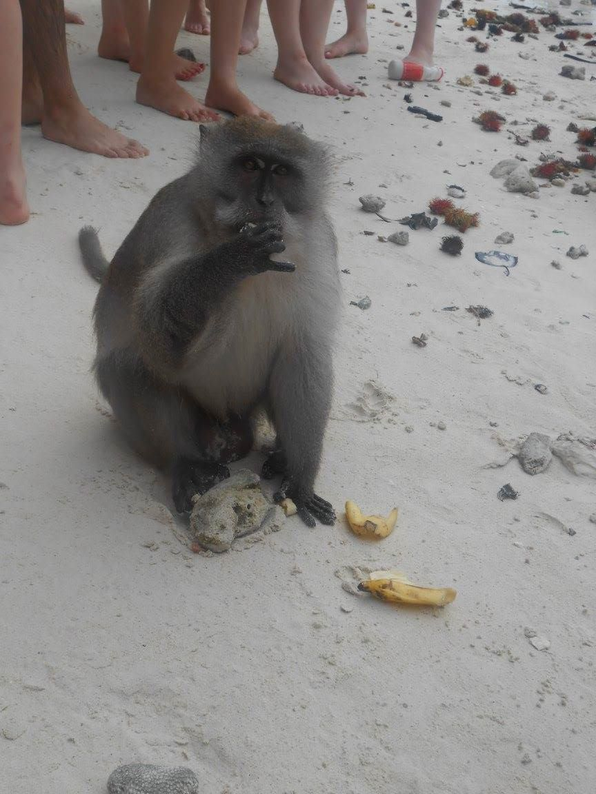 A monkey actually eating a healthy banana rather than a can of full fat coke...